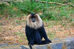 Löwe angebundener Macaque Lizenzfreies Stockbild