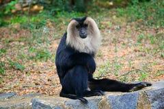 Löwe angebundener Macaque Lizenzfreie Stockfotos