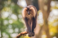 Löwe angebundener Makakenaffe unter dem Baum Stockbild