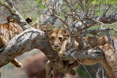 Löwe auf Baum stockbild