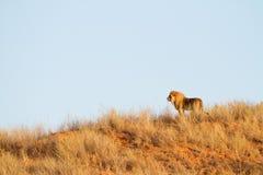 Löwe auf Düne lizenzfreie stockfotografie