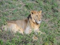 Löwe auf dem Blick heraus stockbilder