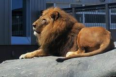 Löwe auf dem Felsen lizenzfreies stockbild