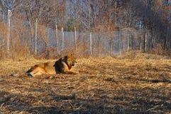 Löwe auf dem Gebiet stockbilder