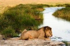 Löwe auf einem Bewässerungsplatz Stockbilder