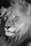 Löwe-Augen und Blut. stockbild