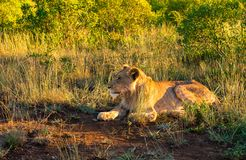 Löwe bei der Aufwartung Lizenzfreies Stockbild
