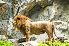Löwe in chiangmai Zoo chiangmai Thailand Stockfotos