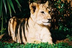 Löwe Cub 01 Lizenzfreie Stockbilder
