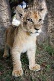 Löwe Cub Stockbilder