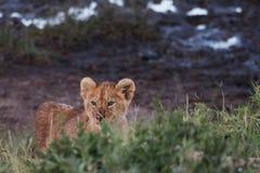Löwe Cub Lizenzfreies Stockfoto