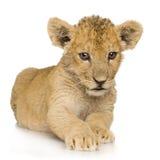 Löwe Cub (3 Monate) Lizenzfreies Stockbild