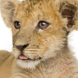 Löwe Cub (3 Monate) Lizenzfreie Stockfotografie