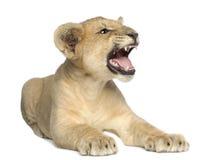 Löwe Cub (4 Monate) stockbilder