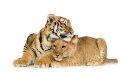 Löwe Cub (5 Monate) und Tigerjunges (5 Monate) Stockfotografie