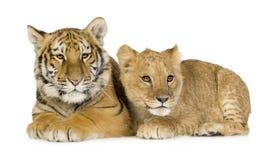 Löwe Cub (5 Monate) und Tigerjunges (5 Monate) Lizenzfreie Stockfotos