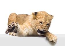 Löwe Cub, der sich hinlegt Lizenzfreie Stockfotografie