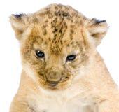 Löwe Cub, der sich hinlegt Stockbild