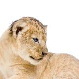 Löwe Cub, der sich hinlegt Stockfotos