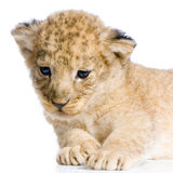 Löwe Cub, der sich hinlegt Lizenzfreie Stockfotos
