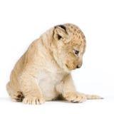 Löwe Cub, der sich hinlegt Lizenzfreie Stockbilder