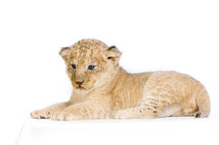 Löwe Cub, der sich hinlegt Stockbilder