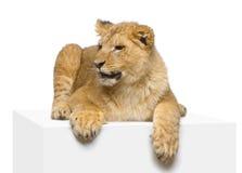 Löwe Cub, der sich hinlegt Stockfoto