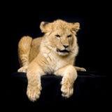 Löwe Cub, der sich hinlegt Lizenzfreies Stockfoto