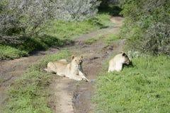 Löwe Cub, Südafrika Lizenzfreies Stockfoto