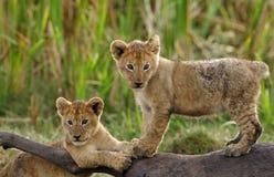 Löwe cubd, das auf die Oberseite der Gnukarkasse spielt lizenzfreies stockfoto