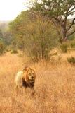 Löwe in den Sabi Sanden Stockfotografie
