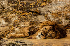 Löwe, der auf dem Felsen schläft lizenzfreie stockfotos