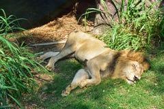 Löwe, der auf dem Gras schläft Stockfotos