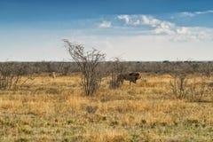 Löwe, der auf die afrikanische Savanne geht Mit Sonnenunterganglicht Seitenansicht naphtha afrika stockfotografie