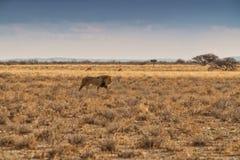Löwe, der auf die afrikanische Savanne geht Mit Sonnenunterganglicht Seitenansicht naphtha afrika lizenzfreies stockbild