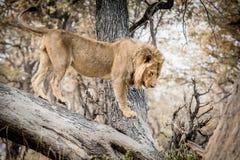 Löwe, der auf einer Niederlassung eines Baums sich entspannt stockfotos