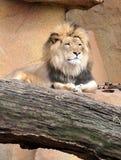 Löwe, der auf Felsen sich entspannt Lizenzfreie Stockfotos