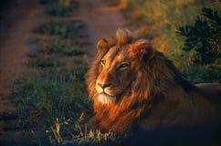 Löwe, der in der Straße liegt Lizenzfreie Stockbilder