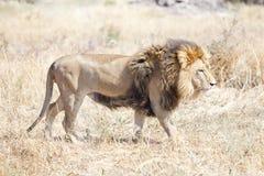Löwe, der die heiße afrikanische Savanne sich wundert Lizenzfreie Stockfotos