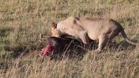 Löwe, der ein totes Gnu Masai Mara isst stock video