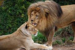 Löwe, der eine Löwin pflegt Stockbilder