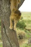 Löwe, der einen Baum hinuntergeht Lizenzfreies Stockbild