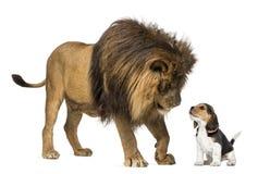 Löwe, der einen Spürhundwelpen betrachtet Lizenzfreies Stockbild
