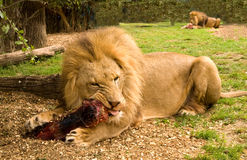 Löwe, der Fleisch kaut Lizenzfreies Stockfoto