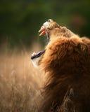 Löwe, der gefährliche Zähne anzeigt Lizenzfreies Stockbild