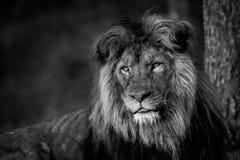 Löwe, der herum intensiv schaut stockfoto