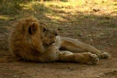Löwe, der im Farbton sich entspannt Stockfotos