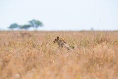 Löwe, der im Gras sich versteckt Lizenzfreie Stockfotografie
