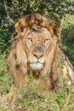 Löwe, der im Schatten getarnt unter einem Baum liegt Stockbilder