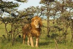 Löwe, der im Schatten steht Lizenzfreies Stockfoto